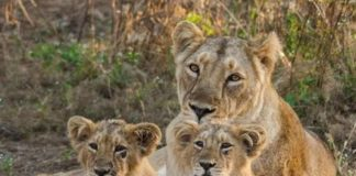SAU-JUN-OMC-LCL-lion-darshan-can-be-done-in-junagadh-forest-gujarati-news-5957453-